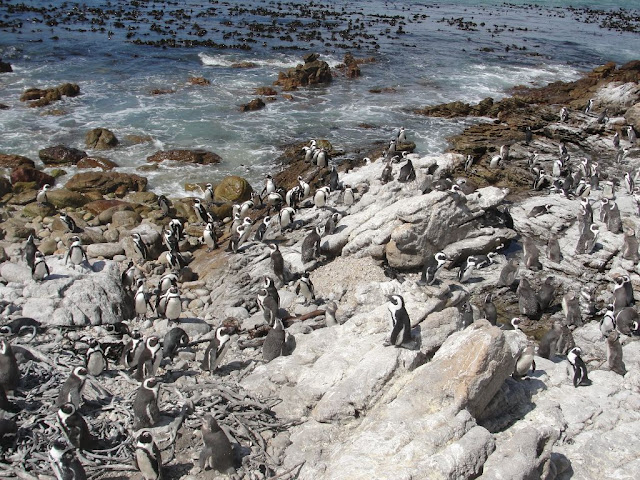 Pinguins Africa do Sul