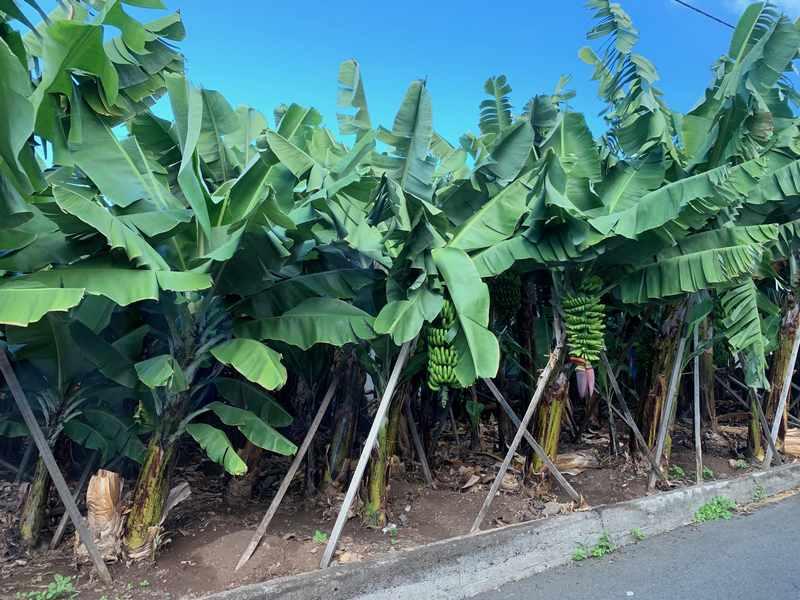 plantações banana madeira